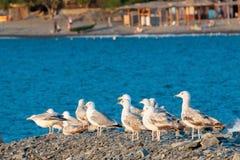 Gaivota que senta-se em seixos perto do mar Fotos de Stock