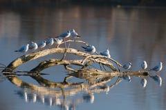 Gaivota que sentam-se na madeira em um rio com uma reflexão na superfície Imagem de Stock