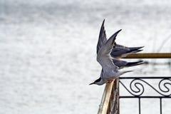 A gaivota que vai voar acima. imagens de stock