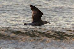 Gaivota que voa baixo sobre a água Fotos de Stock Royalty Free