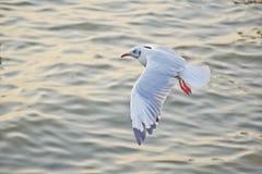 Gaivota que voa sobre o mar em Tailândia Fotografia de Stock