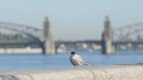 A gaivota senta-se em uma terraplenagem de pedra do rio de Neva - St Petersburg, Rússia vídeos de arquivo
