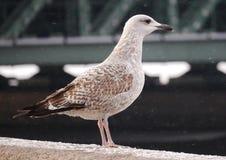 A gaivota senta-se no perapet da terraplenagem do palácio Foto de Stock