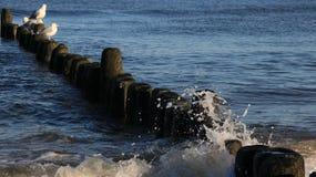 A gaivota simples da vida relaxa e toma sol no disjuntor de onda de madeira foto de stock