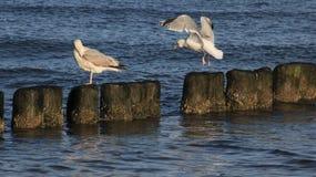 A gaivota simples do modo de vida relaxa no disjuntor de onda de madeira fotografia de stock royalty free