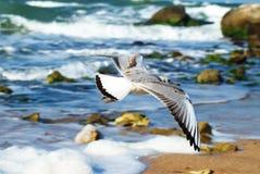 Gaivota sobre a água O mar de Azov O Osovyny Fotos de Stock