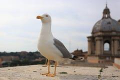 Gaivota sobre o San Pietro Dome, Cidade Estado do Vaticano Foto de Stock Royalty Free