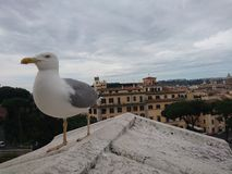 Gaivota sobre Roma Fotografia de Stock Royalty Free