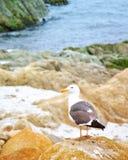 Gaivota solitária empoleirada em pedregulhos da praia imagem de stock royalty free