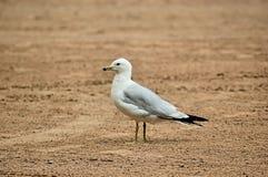 Gaivota solitária na praia Imagem de Stock Royalty Free