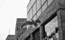 Gaivota urbana Fotografia de Stock