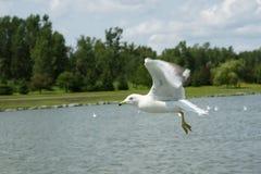 A gaivota voa Fotografia de Stock