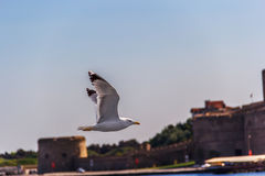 A gaivota voa contra o céu azul Imagem de Stock