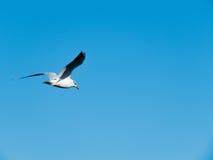 A gaivota voa sobre o lago Bolsena Viterbo Itália Fotos de Stock