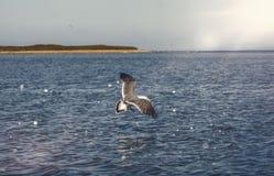 Gaivotas brancas de voo altas do céu azul que pairam sobre o mar Um dia ensolarado Foto de Stock