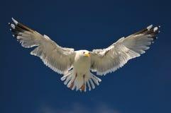 Gaivotas brancas no vôo Imagem de Stock