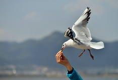 gaivotas do voo no pão Imagem de Stock