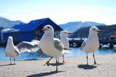 Gaivotas em Akaroa, Nova Zelândia Imagens de Stock Royalty Free