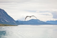 Gaivotas em Alaska Fotografia de Stock Royalty Free