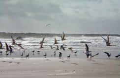 Gaivotas em uma praia tormentoso Imagens de Stock