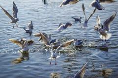 Gaivotas em voo sobre um lago Foto de Stock