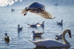 Gaivotas em voo sobre uma cisne Imagem de Stock
