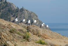 Gaivotas - lat Laridae, sentando-se em seguido no monte sobre o Lago Baikal Imagem de Stock Royalty Free