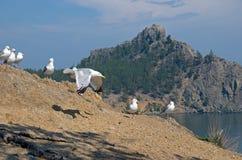 Gaivotas - lat Laridae, sentando-se em seguido no monte sobre o Lago Baikal Imagens de Stock