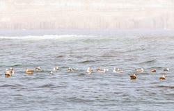 Gaivotas na água Fotos de Stock Royalty Free