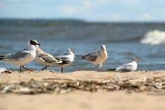 Gaivotas na areia Fotografia de Stock Royalty Free