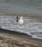 Gaivotas na areia da praia Fotos de Stock