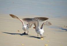 Gaivotas na praia Fotografia de Stock