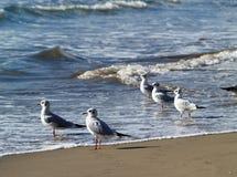 Gaivotas na praia Imagens de Stock