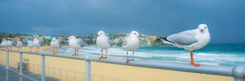 Gaivotas na praia de Bondi Um fim de semana molhado em Sydney, Austrália Imagem de Stock