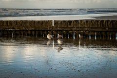 Gaivotas na praia na frente do wavebreaker de madeira foto de stock