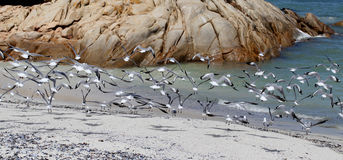 Gaivotas na praia no cabo Imagens de Stock Royalty Free