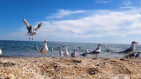 Gaivotas no close-up do litoral, gaivota que comem na praia em um movimento lento filme