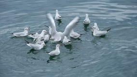 Gaivotas no lago que comem uma parte de pão video estoque