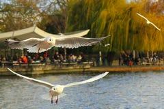 Gaivotas no parque, Londres Foto de Stock Royalty Free