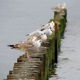 Gaivotas no quebra-mar Fotos de Stock Royalty Free