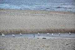 Gaivotas no rio perto do mar Imagens de Stock Royalty Free