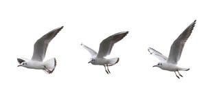 Gaivotas no voo em um fundo branco Fotos de Stock Royalty Free