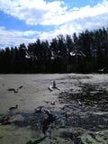 Gaivotas que circundam sobre a água contra o céu azul e a floresta foto de stock royalty free