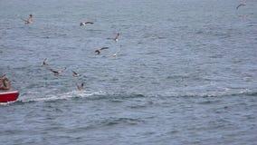 Gaivotas que comem peixes após a passagem de um barco de pesca [@50fps] video estoque