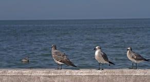 Gaivotas que esperam no porto Fotografia de Stock
