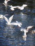 Gaivotas que lutam na beira do lago Imagem de Stock Royalty Free