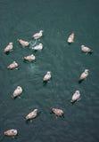Gaivotas que nadam na água Imagens de Stock Royalty Free
