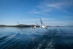 Gaivotas que voam após o barco no Lago Baikal foto de stock