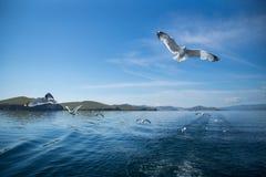 Gaivotas que voam após o barco no Lago Baikal fotos de stock