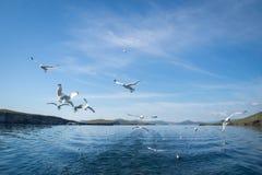 Gaivotas que voam após o barco no Lago Baikal imagens de stock